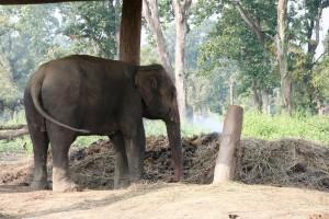 NEPAL - Chitwan, Elephant breeding centre