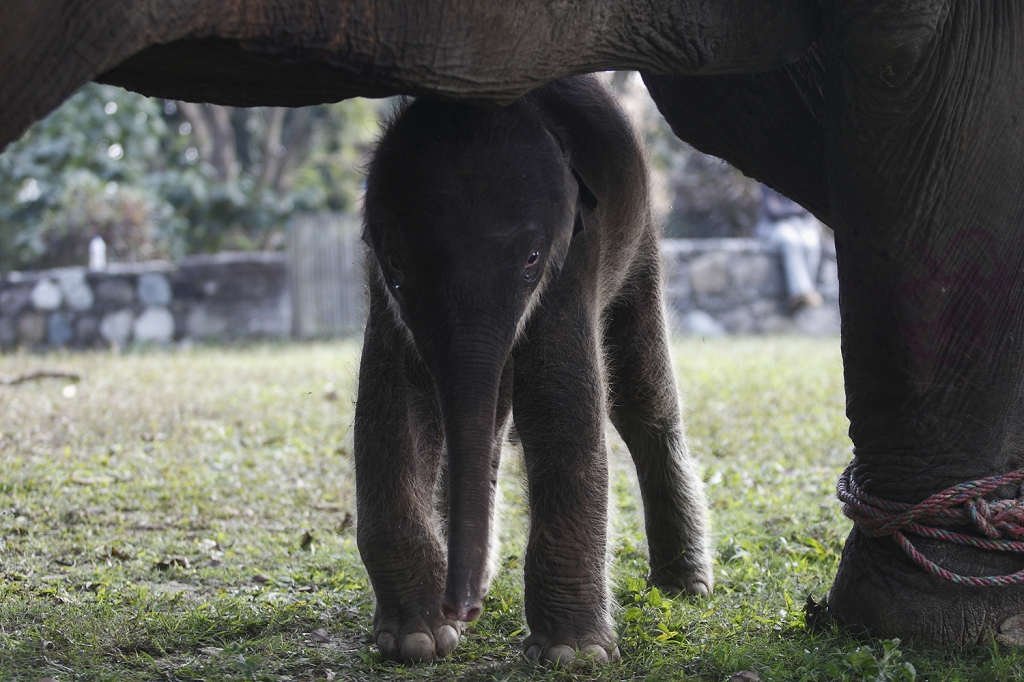 Baby elephant at Sapana Lodge Chitwan Nepal
