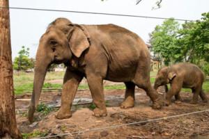Hotel Nepal with own Elephant and baby elephant - Sapana Lodge
