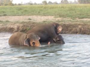 Elephant and elephant baby at hotel Sapana Lodge Chitwan Nepal