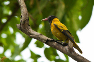 Black Hooded Oriole, In The Garden Of Sapana Lodge