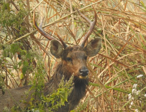 Sambar Deer Spotted in Chitwan National Park